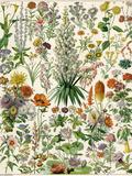 Perennial Garden Flowers, Aster, Daisy, Bleeding Heart, Geranium, Primrose, Phlox Giclée