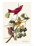 Summer Tanager Reproduction d'art par John James Audubon