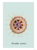 Jellyfish: Pectyllis Arctica