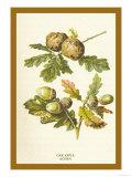 Oak Apple Acorn