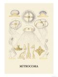 Jellyfish: Mitrocoma