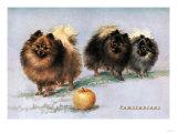 Three of Mrs Hall Walker's Champion Pomeranians