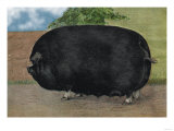 Champion Sow Reproduction d'art