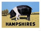 Hampshires