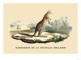 Kangouroo de la Nouvelle Hollande