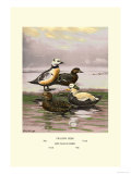 Stellars and Spectacled Eiders