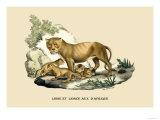 Lion et Lionne d'Afrique