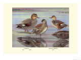 Gadwall and Coues's Gadwall Ducks