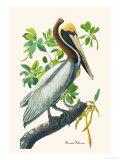 Pélican brun Reproduction d'art par John James Audubon