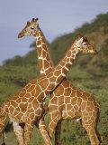 Giraffe  Sambura  Kenya  Africa
