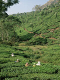 Women Picking Tea in a Tea Plantation  Munnar  Western Ghats  Kerala State  India  Asia