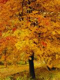 Ash Tree  Autumn Foliage  Peak District National Park  Derbyshire  England  UK  Europe