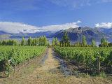 Vineyards at Winery on Shores of Lake Wanaka  South Island  New Zealand