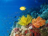Colourful Crinoids and Solt Corals at Hanging Gardens  Sipadan Island  Sabah  Malaysia