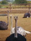 Ostrich Farm in Oudtshoorn  Little Karoo  South Affrica