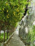 Lemon Groves  Amalfi Coast  Campania  Italy  Europe
