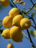 Close-up of Lemons on Tree  Spain