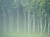 Silver Birch Trees Near Contin  Highlands Region  Scotland  UK  Europe