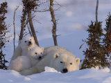 Polar Bear with Cubs  (Ursus Maritimus)  Churchill  Manitoba  Canada