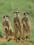 Three Meerkats (Suricates), Suricata Suricatta, Addo National Park, South Africa, Africa Papier Photo par Ann & Steve Toon