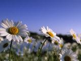 Daisy  Asteraceae  Hiller Moor  Germany
