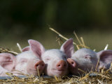 Domestic Pig  Huellhorst  Germany