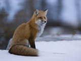Red Fox  Vulpes Vulpes  Churchill  Manitoba  Canada  North America