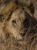 Lion  Panthera Leo  Moremi Wildlife Reserve  Botswana  Africa