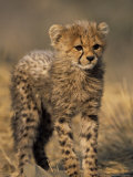 Cheetah  (Acinonyx Jubatus)  Duesternbrook Private Game Reserve  Windhoek  Namibia