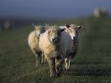 Domestic Sheep  Westerhever  Schleswig-Holstein  Germany