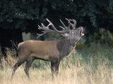 Red Deer  (Cervus Elaphus)  Kopenhagen  Denmark