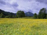 Meadow  Flowers on a Meadow  Bad Toelz  Bayern  Germany