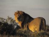 Lion  (Panthera Leo)  Etoscha National Park  Namibia