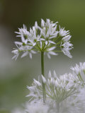 Close-Up of Wild Garlic Flower  Lancashire  England  United Kingdom
