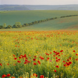 Poppy Fields  South Downs  Sussex  England  UK  Europe