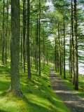 Path and Sunlight Through Pine Trees  Burtness Wood  Near Buttermere  Cumbria  England