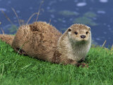 Otter (Lutra Lutra)  Otter Trust North Pennine Reserve  Barnard Castle  County Durham  England