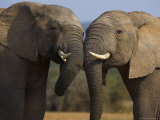 Elephants Socialising in Addo Elephant National Park  Eastern Cape  South Africa
