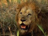 Close-Up of Male Lion (Panthera Leo)  Mala Mala Game Reserve  Sabi Sand Park  South Africa  Africa