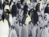 Emperor Penguin (Aptenodytes Forsteri)  Chicks in Colony  Snow Hill Island  Weddell Sea  Antarctica