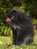 Capitive Porcupine (Erethizon Dorsatum) Sitting on Hind Feet Eating an Apple  Sandstone  Minnesota