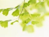 Ginkgo Breeze