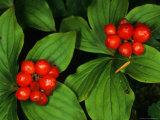Bunchberry  Alaska