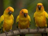 Closeup of Three Captive Sun Parakeets