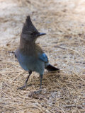 Closeup of a Stellar's Jay  California