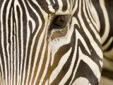 Closeup of a Grevys Zebra's Face