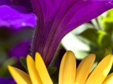 Close View of Purple Petunia and Yellow Symphony Osteospermum  Groton  Connecticut