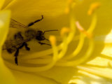 Close View of a Bee Collecting Pollen from the Stamen of a Flower  Groton  Connecticut