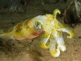 Closeup of a Bigfin Reef Squid  Bali  Indonesia