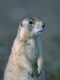 Black-Tailed Prairie Dog in Howes  South Dakota